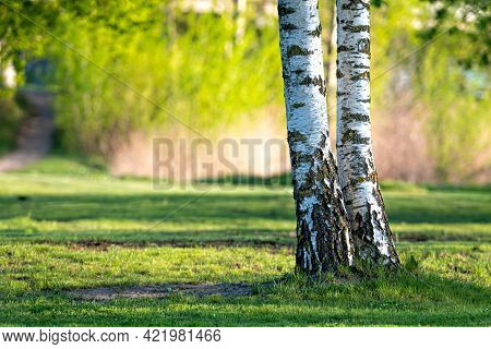 Spring In The Birch Grove, Beautiful Sunny Day In The Forest, Spring Landscape With Birch Trees