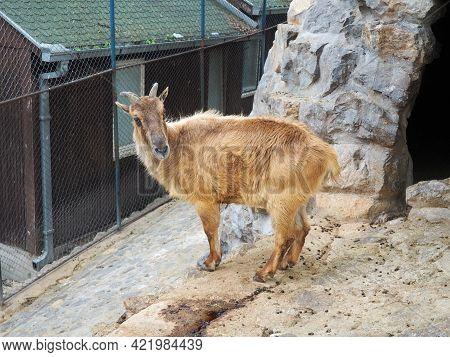 Himalayan Tar. Mammal Of The Family Of The Pole, The Genus Of Tara, Hemitragus Jemlahicus. Himalayan