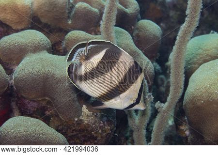 Banded Butterflyfish On Caribbean Coral Reef