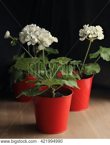 White Pelargonium Flowers In Red Pots. Geranium. Floriculture.