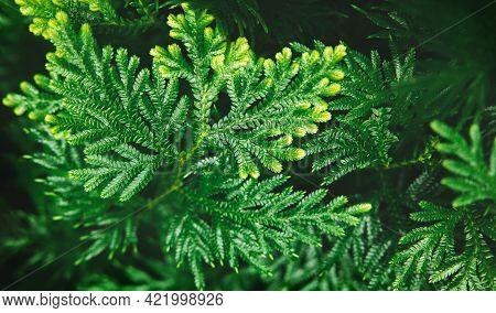 Natural Leaf Texture Background. Closeup Of Green Juniper Chinensis Leaf. Top View