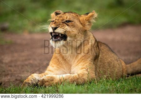 Close-up Of Yawning Lion Cub Lying Down