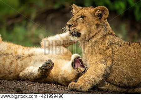 Close-up Of Lion Cubs Lying Play Fighting
