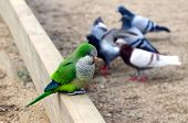 Parrot and pigeons in the park of Barcelona Spain poster
