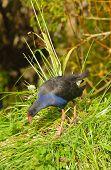 New Zealand Pukeko, a native bird in the wild poster