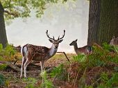 Portrait of fallow deer stag on foggy Autumn morning poster