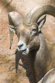 3/4 headshot of a desert bighorn sheep (ovis canadensis nelsoni) looking straight at the viewer. Large circular horns. Mouth open lower jaw skewed to the side. poster