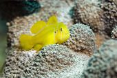 citron coral goby (gobiodon citrinus)taken in the red sea. poster