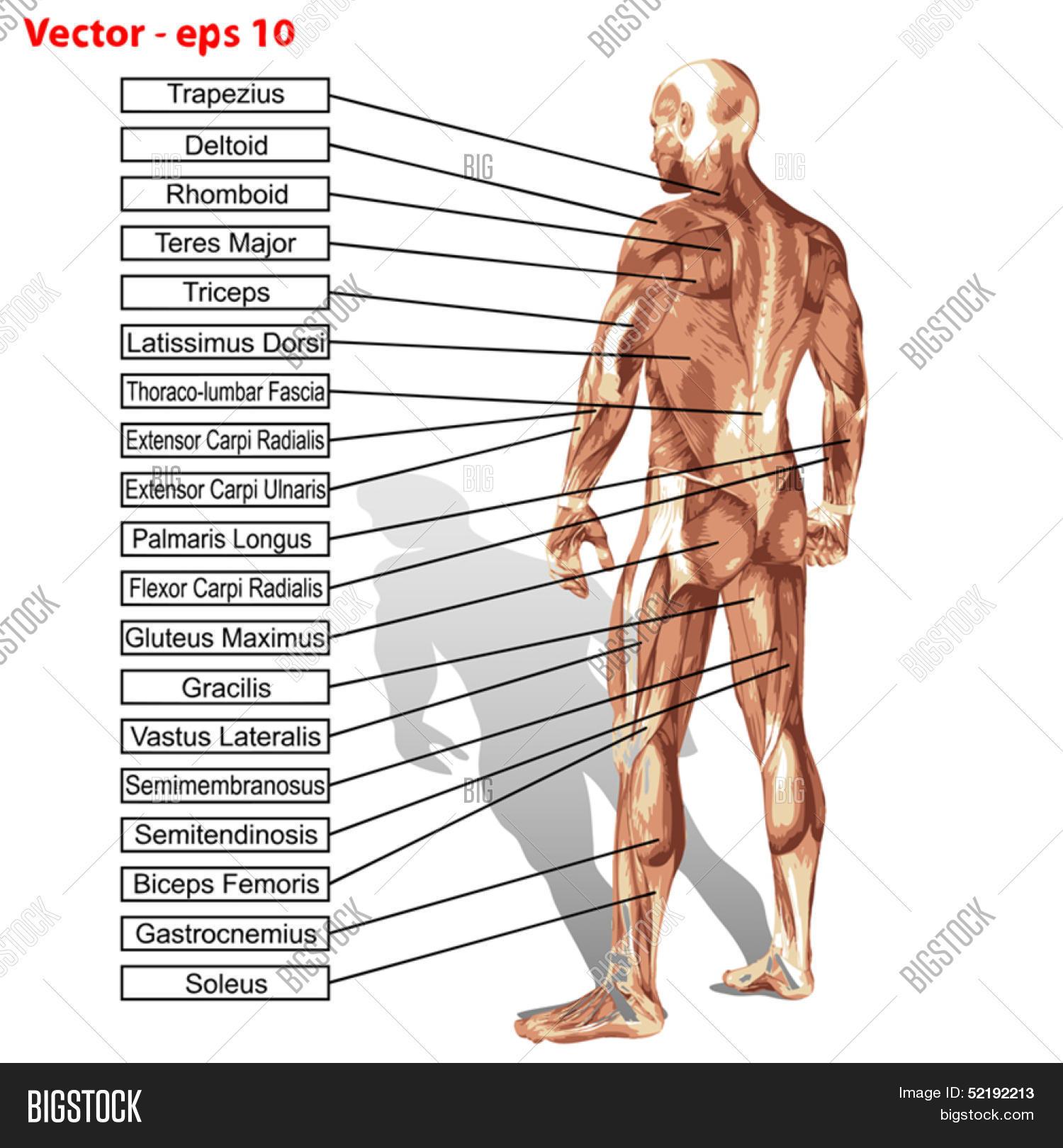Fancy Human Anatomy Man Elaboration Human Anatomy Images