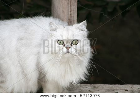 Persian Cat on a Ledge