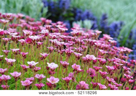 Beautiful Flowerbed Of Pink And Blue Flowers On Blurred Background