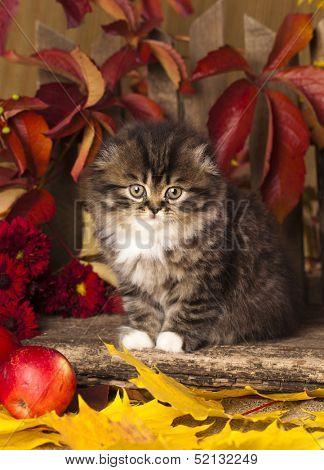 lop-eared kitten skotishfold