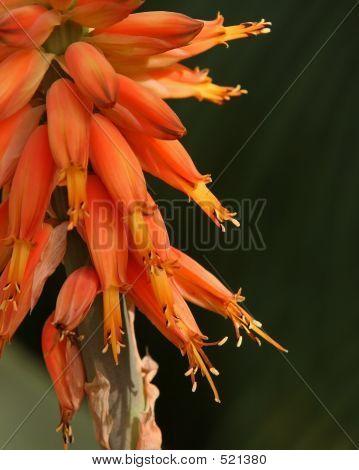 Aloeflowerstalkmacro2