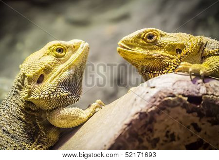 Yellow Bearded Dragons