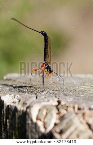 Females - wood wasp
