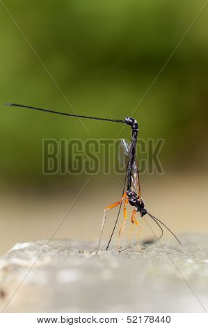 wood wasp - Ephialtes manifestator