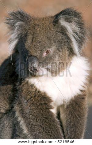 Koala Closeup