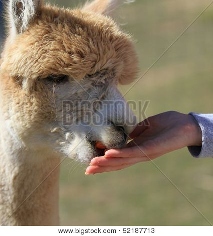 Tan Alpaca eating