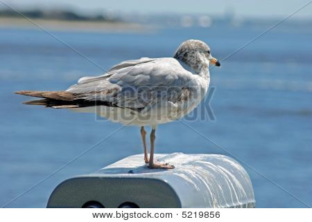 Seagull getting some rest on an ocean wall. poster