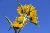 Beautiful yellow Bur-Marigolds (Bidens laevis) in field against blue sky. poster