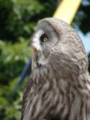 Profile picture of a Great Grey Owl. poster