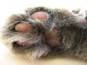 photograph of the paw of a cat poster