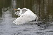 Great Egret (Ardea alba) flying over the Florida Everglades poster