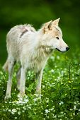 Arctic Wolf (Canis lupus arctos) aka Polar Wolf or White Wolf - Close-up portrait of this beautiful predator against lovely green grass poster