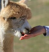 Tan Alpaca eating a carrot from a woman's hand poster