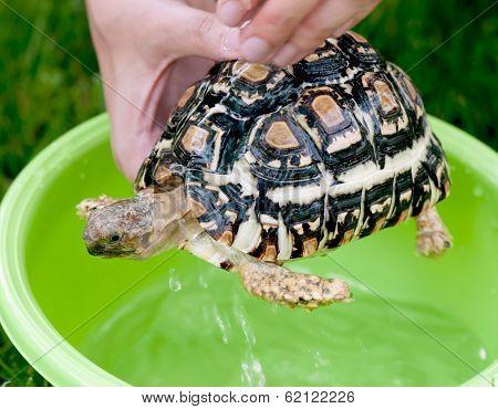 Leopard Tortoise - Daily Hygiene