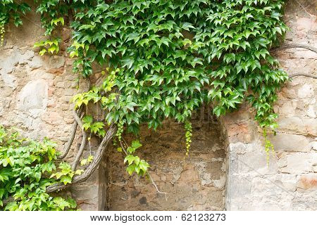 Green Ivy On A Stone Wall, Hannover, Germany