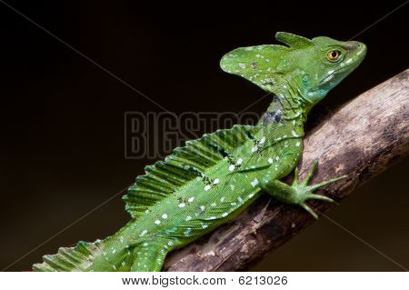 Jesus Christ lizard sitting on a branch above water poster