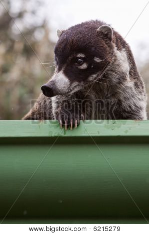 White-nosed goati animal sitting in a gutter poster