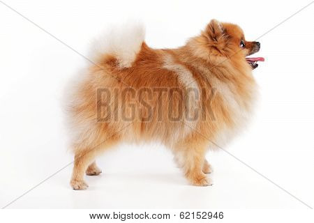 Little cute redhead Spitz sits on a white background poster