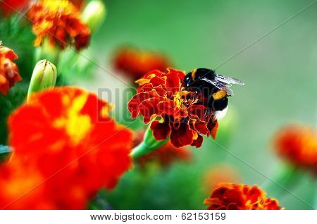 Bumblebee On Afrikaner Flower