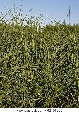 Colorful and crisp image of tall wheatgrass (Agropyron elongatum) poster