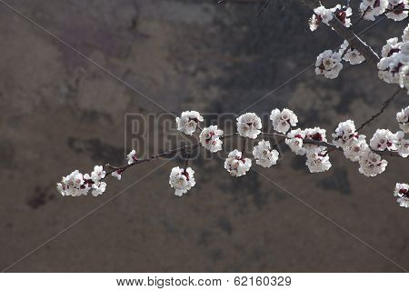 Fruit Tree Blooming Period
