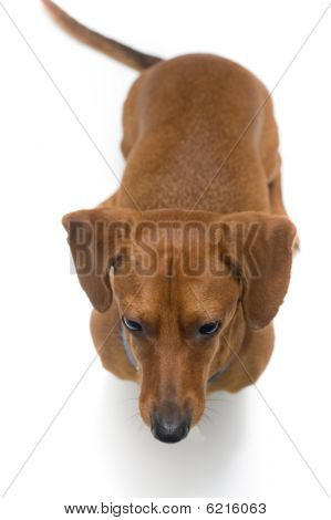 Miniature Dachshund on white series