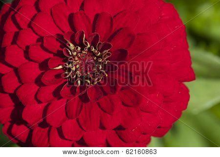 Chrysanthemum Flower In A Garden