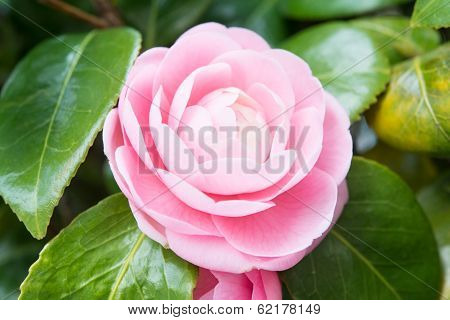 Flower Of The Double-flowered Camellia