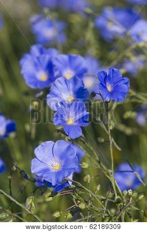 Blue Flax Bloom