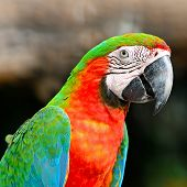 Colorful Harlequin Macaw aviary, face and breast profile poster