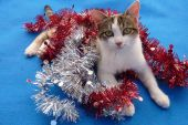 Mischievous young tricolor cat taking a break from fighting with the tinsel on blue rug poster
