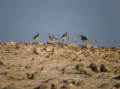 ibises in the lagoon of Maspalomas at the Island of Gran Canaria, Spain poster