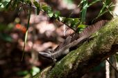 Jesus christ lizard sitting on a branch in a tree poster