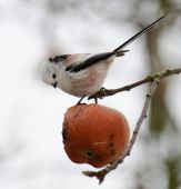 Long-tailed Tit Aegithalos caudatus feeding on a rotten apple in winter poster
