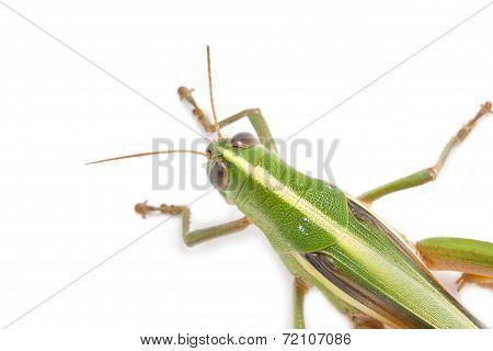 Grasshopper Isolated On White Background.