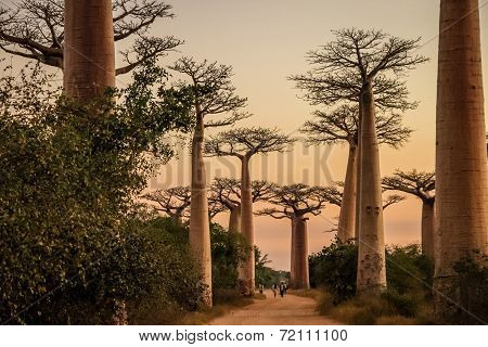 Avenida de Baobab at sunset