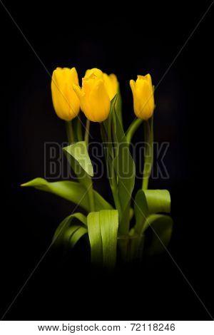Yellow tulips on a dark background