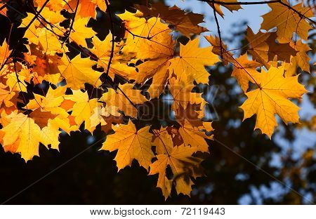 Autumn maple yellow foliage on a branch